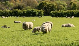 Sheep in a Field grazing. Close up shot of some sheep standing in a feld in Wrightington in Lancashire Stock Photos