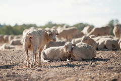 Sheep in the field. Grazing and lying Stock Photography