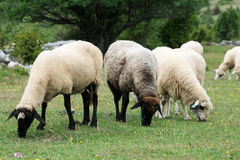 Sheep in the Field Royalty Free Stock Photo