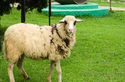 Sheep in a field of green grass on the farm Stock Photography