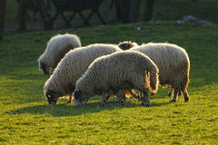 Sheep in a field. A herd of graze sheep in a field Royalty Free Stock Image