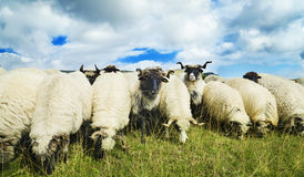 Sheep in the field Royalty Free Stock Image