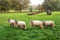 Sheep in a field in Holland royalty free stock photos