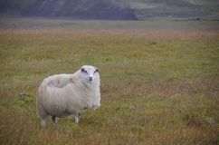 Sheep on the field in Iceland. In the strong wind Royalty Free Stock Images