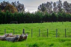 Sheep in a Field, Kerikeri NZ. A flock of sheep grazing in a field in Kerikeri, New Zealand, Aotearoa Stock Photo