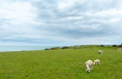 Sheep in a field. Sheep and lamb grazing in a green field with the atlantic ocean in the background royalty free stock photography