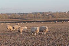 Sheep in a Field. Large amounts of sheep in a field and some of them looking towards the camera Royalty Free Stock Photo