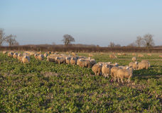 Sheep in a Field. Large amounts of sheep in a field and some of them looking towards the camera Stock Photos