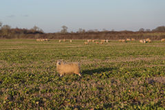 Sheep in a Field. Large amounts of sheep in a field and some of them looking towards the camera royalty free stock image