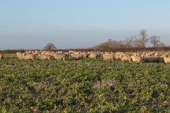 Sheep in a Field. Large amounts of sheep in a field and some of them looking towards the camera stock image