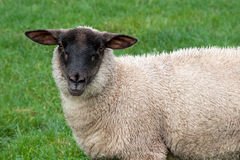 Sheep. In a field looking at the camera Stock Image