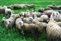 Sheep in field Stock Image