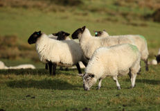 Sheep. In a field, Mendip hills, Somerset, England, UK Stock Photos