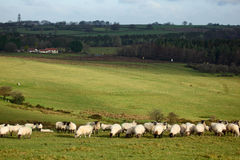 Sheep. In a field, Mendip hills, Somerset, England, UK Royalty Free Stock Images
