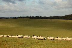 Sheep. In a field, Mendip hills, Somerset, England, UK Royalty Free Stock Photo