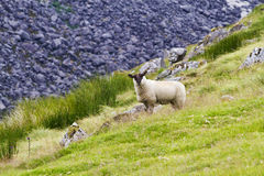 Sheep on field in mountains. Sheep on green field with rocky mountain in background, Glendalough, Country Wicklow, Ireland Royalty Free Stock Photo