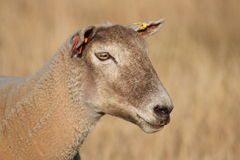 Sheep in field Royalty Free Stock Photography