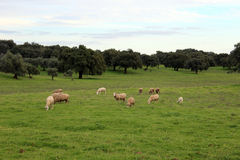 Sheep in field Royalty Free Stock Photo