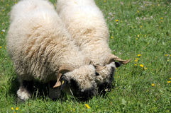 Sheep in field outside Furri Royalty Free Stock Image