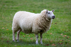 Sheep in field Stock Images