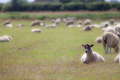 Sheep in a field. Rural agricultural scene of grazing farm animals with copy space. Focus on foreground ewe lying down stock images