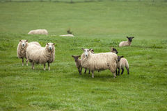 Sheep on the field in Scotland. Sheep with lambs on the field Stock Images