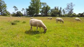 Sheep in a field stock video footage