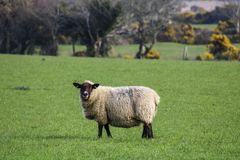 Sheep in field. Sheep grazing on a green pasture stock images