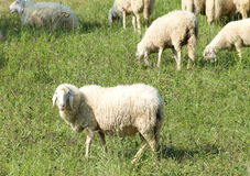 Sheep in a field. Standing on the grass Stock Photography