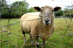 Sheep,a sheep in a field in summer stock images