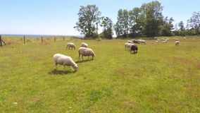 Sheep in a field stock footage
