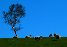 Sheep in a field on a sunny day. Sheep in a field enjoying a sunny spring day, walking, eating and resting under a tree and blue skies Royalty Free Stock Photo