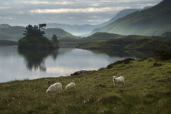 Sheep in field at sunrise landscape with mountains and lake in b Stock Images