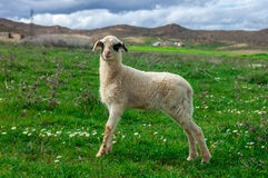 A sheep on a field taken on Morocco. royalty free stock photo