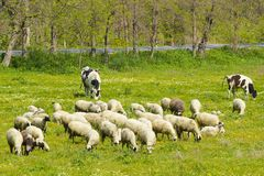 Sheep in the field, Turkey. Shepherd and his sheep in Turkey Royalty Free Stock Image