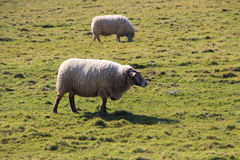 Sheep in a field Stock Photography