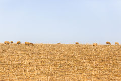 Sheep Field Winter Royalty Free Stock Images
