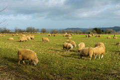 Sheep in a field in winter Stock Photography