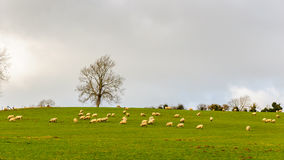 Sheep in a field in winter Stock Photos