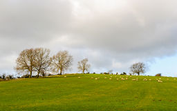 Sheep in a field in winter Royalty Free Stock Photo