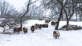 Sheep at field in winter Royalty Free Stock Image