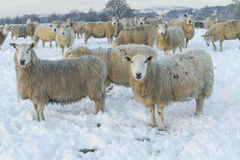 Sheep in field. Sheep in winter landscape covered in snow Stock Photos