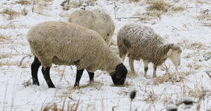 Sheep in field in winter. Some sheep in field in winter Stock Image