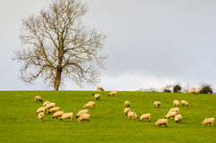 Sheep in a field in winter, UK Royalty Free Stock Image