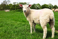 Sheep in field. A young sheep in a lush green field in England Stock Photo