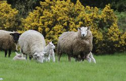 Sheep in the field. Young sheep with mother royalty free stock photo