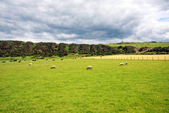 Sheep in the fields Royalty Free Stock Images