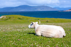 Sheep in the fields of Iona in the Inner Hebrides, Scotland Sheep in the fields of Iona in the Inner Hebrides, Scotland. Iona is a small island in the Inner royalty free stock photo
