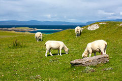 Sheep in the fields of Iona in the Inner Hebrides, Scotland Sheep in the fields of Iona in the Inner Hebrides, Scotland. Iona is a small island in the Inner stock photo