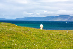Sheep in the fields of Iona in the Inner Hebrides, Scotland Sheep in the fields of Iona in the Inner Hebrides, Scotland. Iona is a small island in the Inner royalty free stock photography